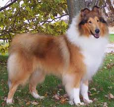 Collie dog 2